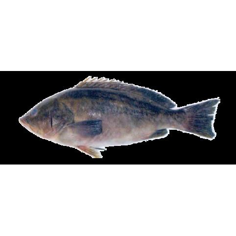 Mérou badeche