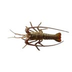 Royal spiny lobster