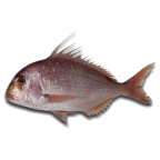 Bluespotted seabream