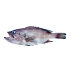 Dogtooth grouper