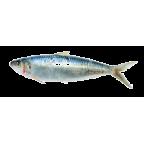 Medeiran sardinella