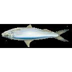 Round sardinella
