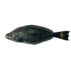 Spiny turbot